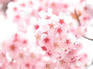 桜の写真・画像素材[1542469]