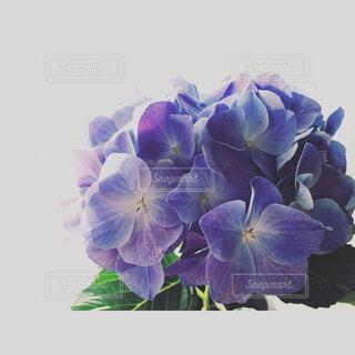 紫陽花の写真・画像素材[1547021]