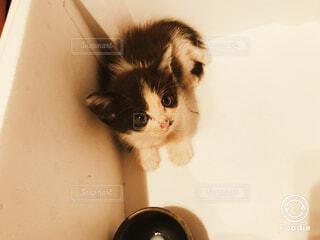 つぶらな瞳で見つめる子猫の写真・画像素材[1543705]