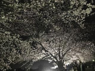 木の黒と白の写真の写真・画像素材[1553494]
