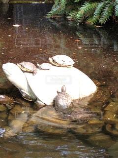 亀の上に亀がゾロゾロの写真・画像素材[1554746]