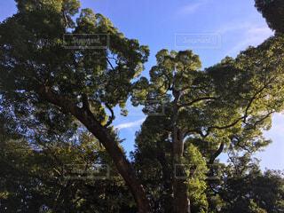 金のなる木の写真・画像素材[1548912]