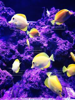 黄色い魚の写真・画像素材[1607401]