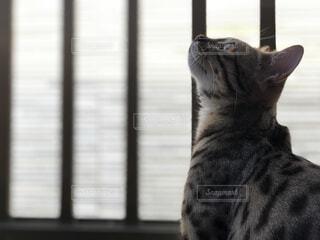 見つめる猫の写真・画像素材[1548695]
