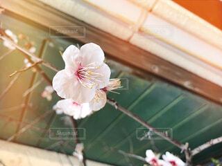梅の花の写真・画像素材[1851556]