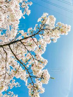 満開の桜と快晴の空の写真・画像素材[3089013]