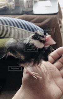 文鳥の水浴び後の写真・画像素材[1581950]