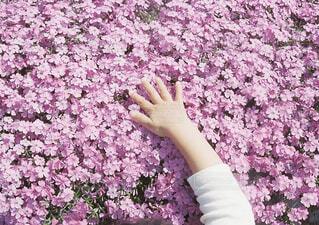芝桜をさわってみたの写真・画像素材[1549474]