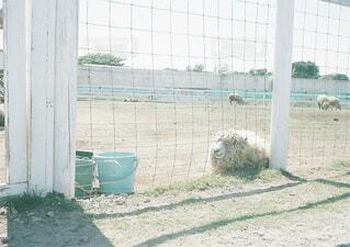 昼休みのひつじの写真・画像素材[1549626]