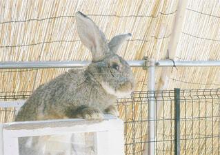 ウサギの写真・画像素材[1549627]