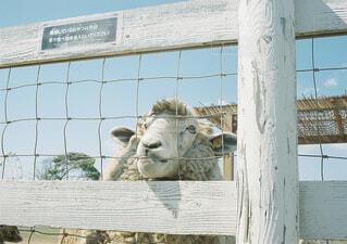 エサがほしい羊の写真・画像素材[1549631]