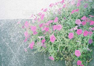 夏の庭 ペチュニアの写真・画像素材[1549675]
