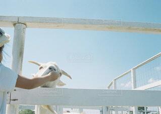 ふれあいヤギの写真・画像素材[1555419]