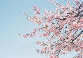 桜をみにいく散歩の写真・画像素材[1560548]