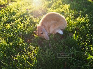 フレッシュな草に喜ぶうさぎの写真・画像素材[1550200]