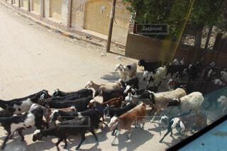 通りを渡って歩いてやぎの群れの写真・画像素材[1551005]