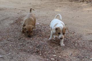 子犬2匹の写真・画像素材[1554717]