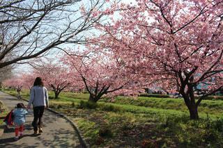 桜並木を散歩の写真・画像素材[1561097]