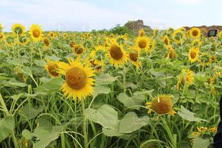 ひまわり畑の写真・画像素材[1566519]