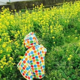 菜の花とレインコートの写真・画像素材[1566901]