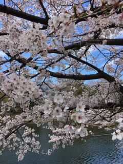 水辺に咲く桜の写真・画像素材[1550924]