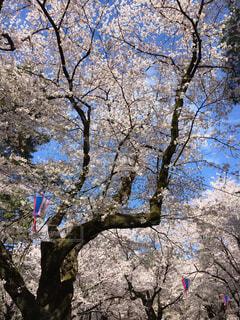 大きな木の写真・画像素材[1550934]