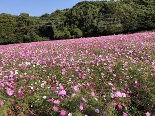 ピンクの絨毯の写真・画像素材[1575694]