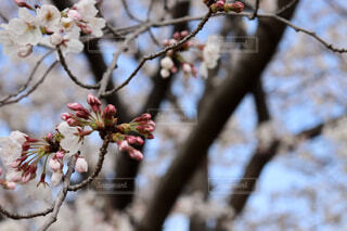 桜の花とつぼみの写真・画像素材[1879003]