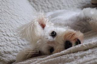 ソファに横たわるワンコの写真・画像素材[2006458]