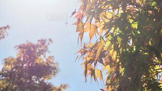 逆光の紅葉の写真・画像素材[1560550]