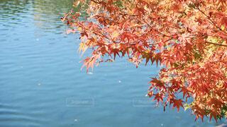 池と紅葉の写真・画像素材[1560557]