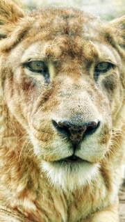 ライオンの写真・画像素材[1566807]