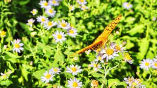 オレンジの蝶と白い花3の写真・画像素材[1571943]