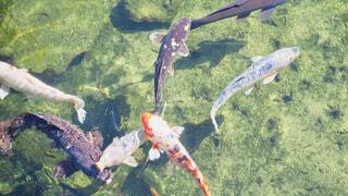 池の鯉たちの写真・画像素材[1612325]