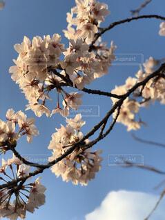 桜の写真・画像素材[1570098]