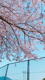 桜の写真・画像素材[1554397]