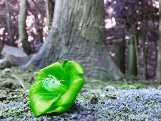 緑の葉の木の写真・画像素材[1556494]
