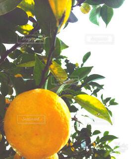 枝からぶら下がるゆずの写真・画像素材[1599988]