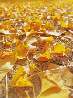家の前の銀杏の木が散って来ました🍂の写真・画像素材[1623244]