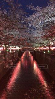 夜の目黒川の桜の写真・画像素材[2351228]