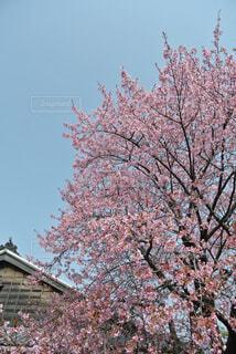 大きな木の写真・画像素材[1557709]
