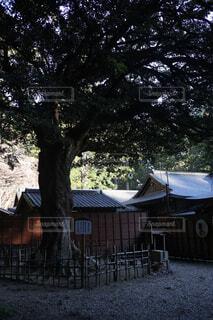 小國神社の縁結びひょうの木の写真・画像素材[1737613]