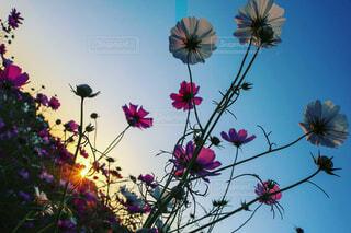 コスモスと夕陽のにらめっこの写真・画像素材[1559302]