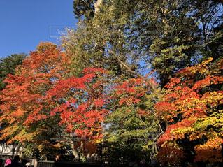森の大きな木の写真・画像素材[1604431]