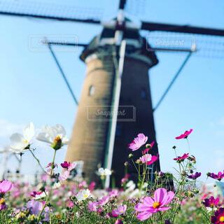 コスモスと風車の写真・画像素材[1576379]