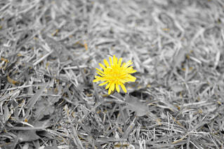 芝生に横たわる花の写真・画像素材[1596993]