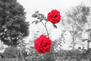 薔薇🌹の写真・画像素材[1597247]