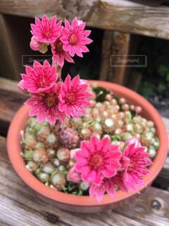 サボテンの花の写真・画像素材[1560615]