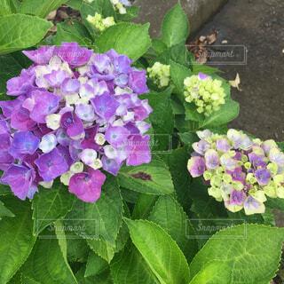 紫陽花の写真・画像素材[1561204]