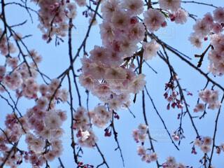 桜の写真・画像素材[1602094]